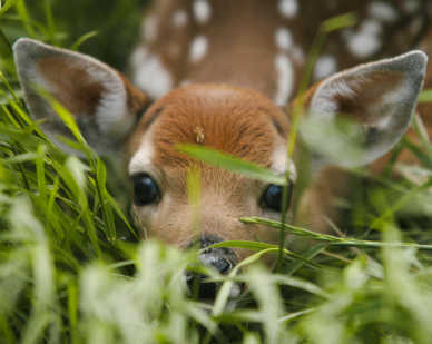 a fawn lying in grass looking at camera