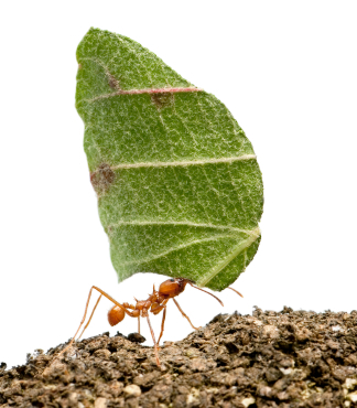 Leaf-cutter ant - Acromyrmex octospinosus